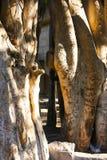 老结构树 图库摄影