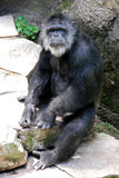 老黑猩猩凝视 库存图片