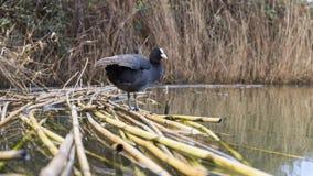 老傻瓜在池塘在意大利 免版税库存图片