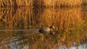 老傻瓜游泳在日落的Kristalbad恩斯赫德 免版税库存图片