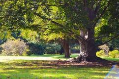 老绿色树在公园 库存照片
