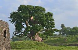 老猴面包树Jal玛哈尔树和废墟  免版税库存照片