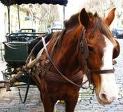 老1匹马 免版税库存照片