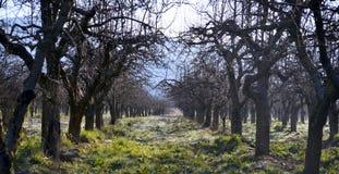 老appple果树园在一个冷的4月早晨 免版税库存照片
