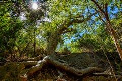 老guanica干燥森林的Guayacan树风景地方 库存照片