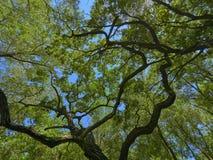 老Letea橡木森林,在多瑙河三角洲的惊人的旅游胜地,罗马尼亚 库存图片