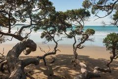 老Pohutukawa树 免版税图库摄影