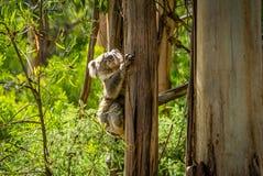考拉上升在一棵树的袋熊cinereus在澳大利亚 库存照片
