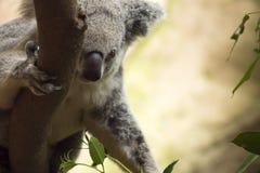 考拉上升的树 免版税库存照片