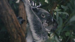 考拉单独在树 股票视频