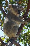 考拉在狂放的磁岛昆士兰澳大利亚 库存图片