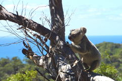 考拉在狂放的磁岛昆士兰澳大利亚 免版税库存照片