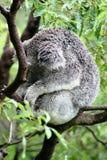 考拉打瞌睡结构树 库存照片