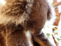 考拉放松在树的,澳大利亚 免版税库存照片