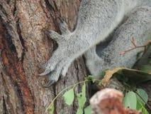 考拉袋熊cinereus爪 免版税库存照片