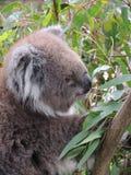 考拉袋熊cinereus 库存图片