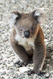 考拉,坎加鲁岛,澳大利亚-墙纸 免版税库存图片