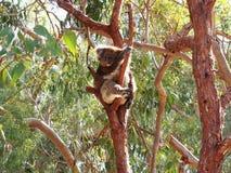考拉,袋熊cinereus,澳大利亚 库存照片