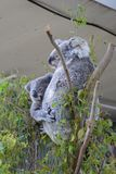 考拉,袋熊cinereus 野生生物悉尼动物园 澳洲调遣葡萄猎人新的南谷威尔士 澳洲 图库摄影
