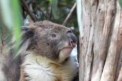 考拉(袋熊cinereus) 免版税库存图片