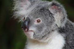 考拉(袋熊cinereus) 图库摄影