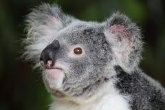考拉(袋熊cinereus) 库存图片