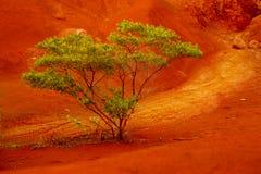 考艾岛结构树 免版税库存图片