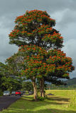 考艾岛,夏威夷,美国- 2013年12月22日:与橙色开花的树 免版税库存图片