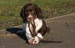 仔细考虑它有在它的嘴和拿着在它的爪子之间木头的小条的一只逗人喜爱的英国斯伯林格西班牙猎狗小狗  图库摄影