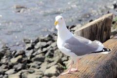 考虑海鸥 免版税库存图片