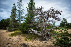 死者和活树 免版税图库摄影