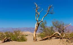 死者打结了树在豆科灌木平的沙丘,加利福尼亚,美国 图库摄影