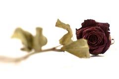 死者烘干了玫瑰色在白色背景 库存照片