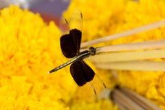 死者蜻蜓黑色  库存图片