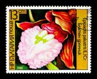 耐寒兰palustris开花,兰花serie,大约1986年 库存图片