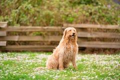 耐心地坐在公园的金黄labradoodle 免版税库存照片