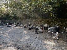 耐心地等待由门的绵羊 库存照片