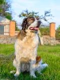 耐心棕色和白色狗坐的等待 免版税库存图片
