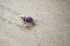 耕犁蜗牛(Bullia洋地黄) 免版税图库摄影