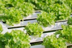水耕的有机蔬菜 免版税库存照片