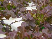 水耕的菜在农场 免版税库存照片