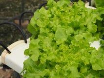 水耕的菜在农场 免版税库存图片
