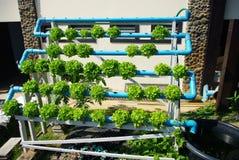 水耕的菜 库存图片