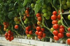 水耕的蕃茄 库存照片