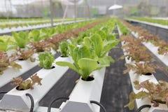 水耕的莴苣蔬菜栽培在农业农场 库存图片