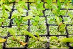 耕种古柯植物 库存图片