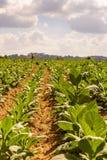 耕种的烟草在种植园 古巴 免版税图库摄影