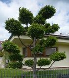 耕种的角树- Carpinus Betulus 库存照片