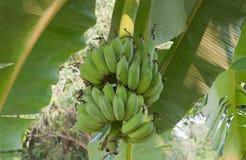 耕种的香蕉树 免版税库存照片