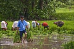 耕种米 免版税库存图片